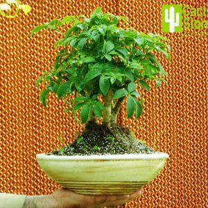 بنسای شفلرا | Schefflera bonsai